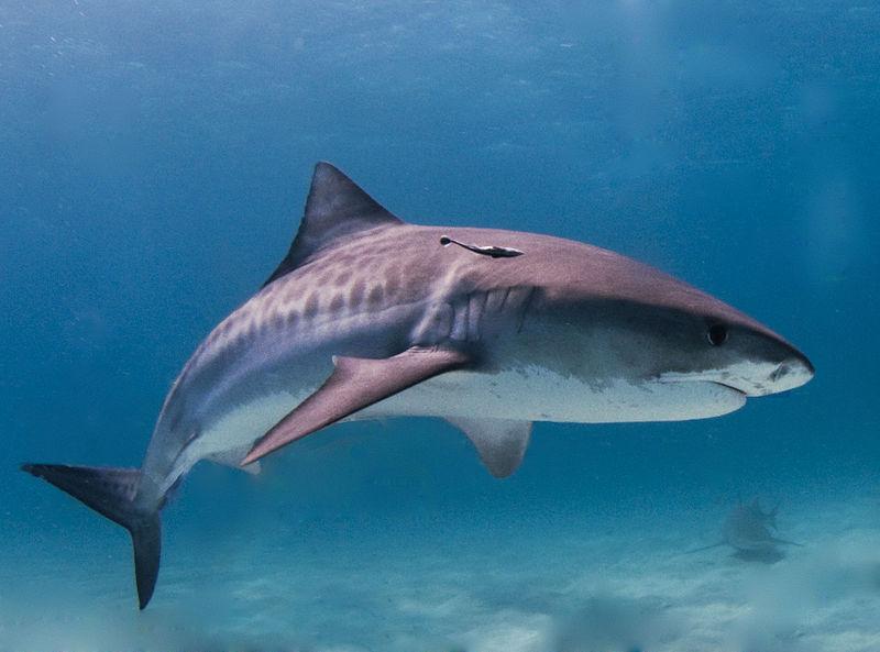 800px-Tiger_shark